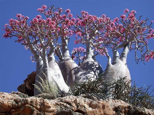 Árboles de Socotra (Yemen)